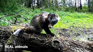Енот уссурийский или енотовидная собака (тануки). Обожает вискас. Real animals #3.