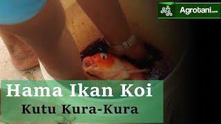 Cara Mengobati Hama Ikan Koi berdasarkan jenis-jenisnya (Kutu Ikan koi)