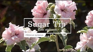 30 Seconds with Sugar Tip® Rose of Sharon