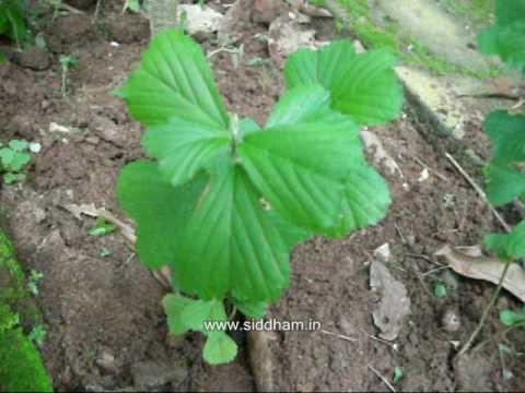 Planting sida acuta seeds