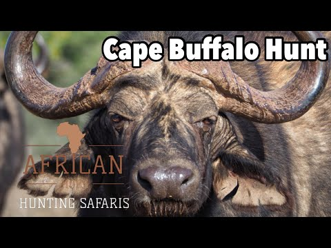 Cape Buffalo hunt with African Hope Hunting Safaris