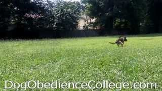 Clyde Memphis Dog Obedience Training Video