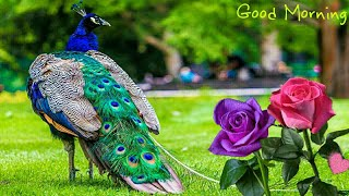 Good Morning video, Beautiful Whatsapp status, Wishes/Greetings/quotes/SMS/Gif/Messages video