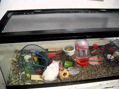 Hamsters in a 20 gal tank cottonball and midinght youtube for Fish tank for hamster