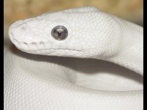 Snake Bytes TV - Getting AJ Rafael A Snake : SnakeBytesTV