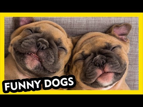 Funny Pug Dog Video Compilation - Funniest and Cutest