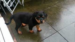 Zara the puppy Rottweiler finding out water is fun