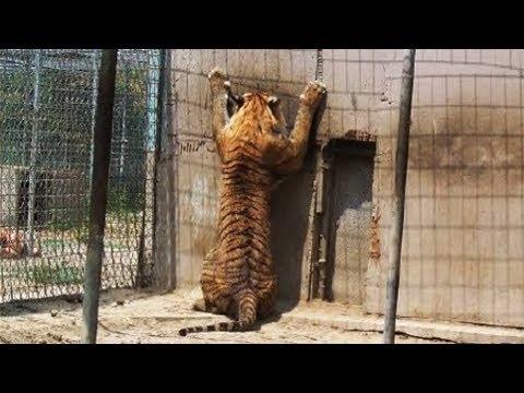 Nobody Needs A 'Pet' Tiger!