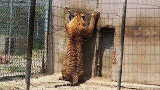 "Nobody Needs A ""Pet"" Tiger!"
