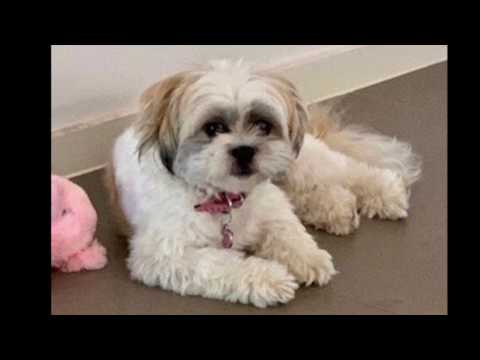 Jill | Mini Poodle Maltese Shih Tzu