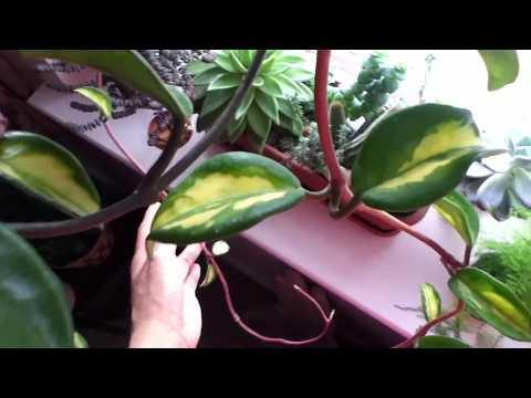 Hoya Carnosa in Buds