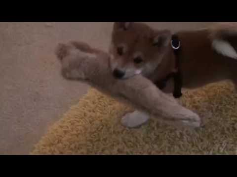 Baby Milo Plays with Toys | Throwback Puppy Thursday