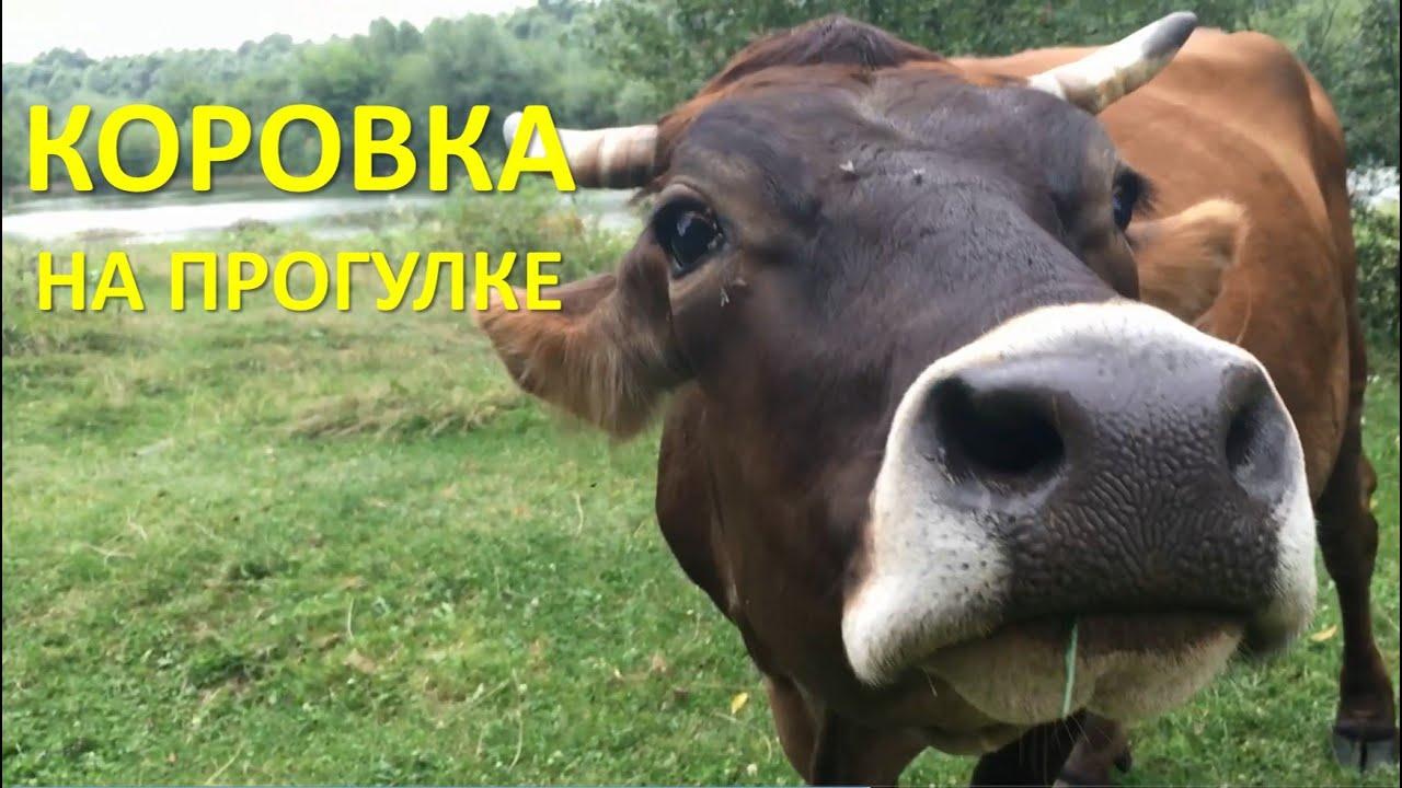 Домашние животные, откуда берется молоко, корова в деревне
