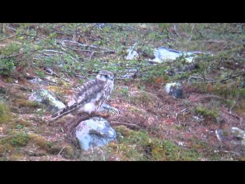 Merlin - Emerillon - Devergfalk / Magistervatnet/ Batsfjord
