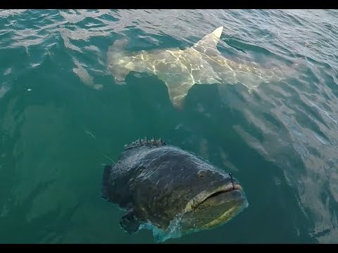 Giant Hammerhead Shark And Goliath Grouper Action!