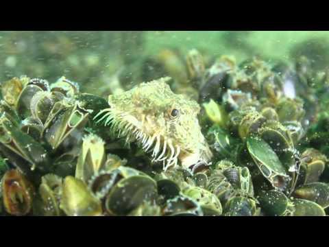 Steinpicker (Agonus cataphractus)