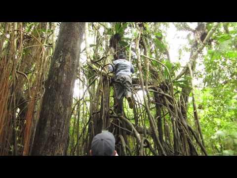 Peru - Yarapa River - Video 10 - Амазонский фикус