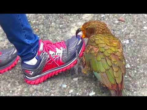 Kea - Naughty Alpine Parrot of New Zealand