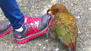 kea-naughty-alpine-parrot-of-new-zealand