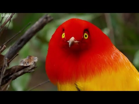 Wow...burung-burung surga lagi ngedance (bird dance paradise)