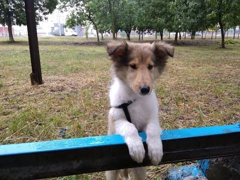 AMAZING CITY TRIKS BY ROUGH COLLIE ROXY (2 months old)