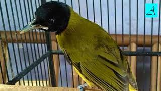 Cukup 5 menit!!! Burung Samyong manapun bakal nyaut dan gacor