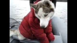 Хаски в лодке