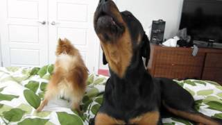 Rottweiler And Pomeranian Funny Howling