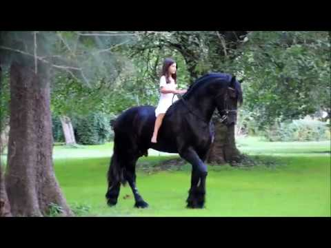 Friesian Stallion by Legendary Horses JDC Photographer