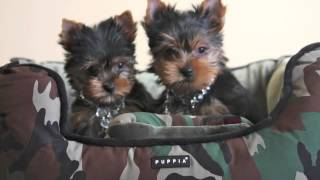 Posh Paws Yorkie, Pomeranian , Shih Tzu Puppies For Sale 708-279-7164