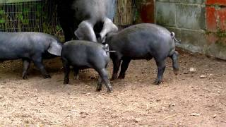 Mother Pig and 5 Black Piglets in Just60seconds