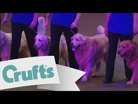 The Southern Golden Retriever Society Team Display | Crufts 2009