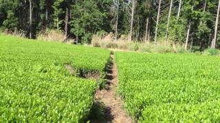 GREEN TEA FARM IN HARUNO