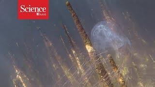 Box jellyfish stings kill—but how often?