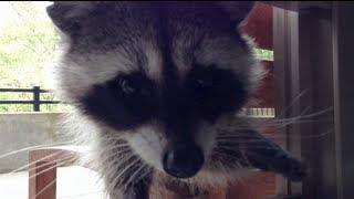betty raccoon ritual whistling noise