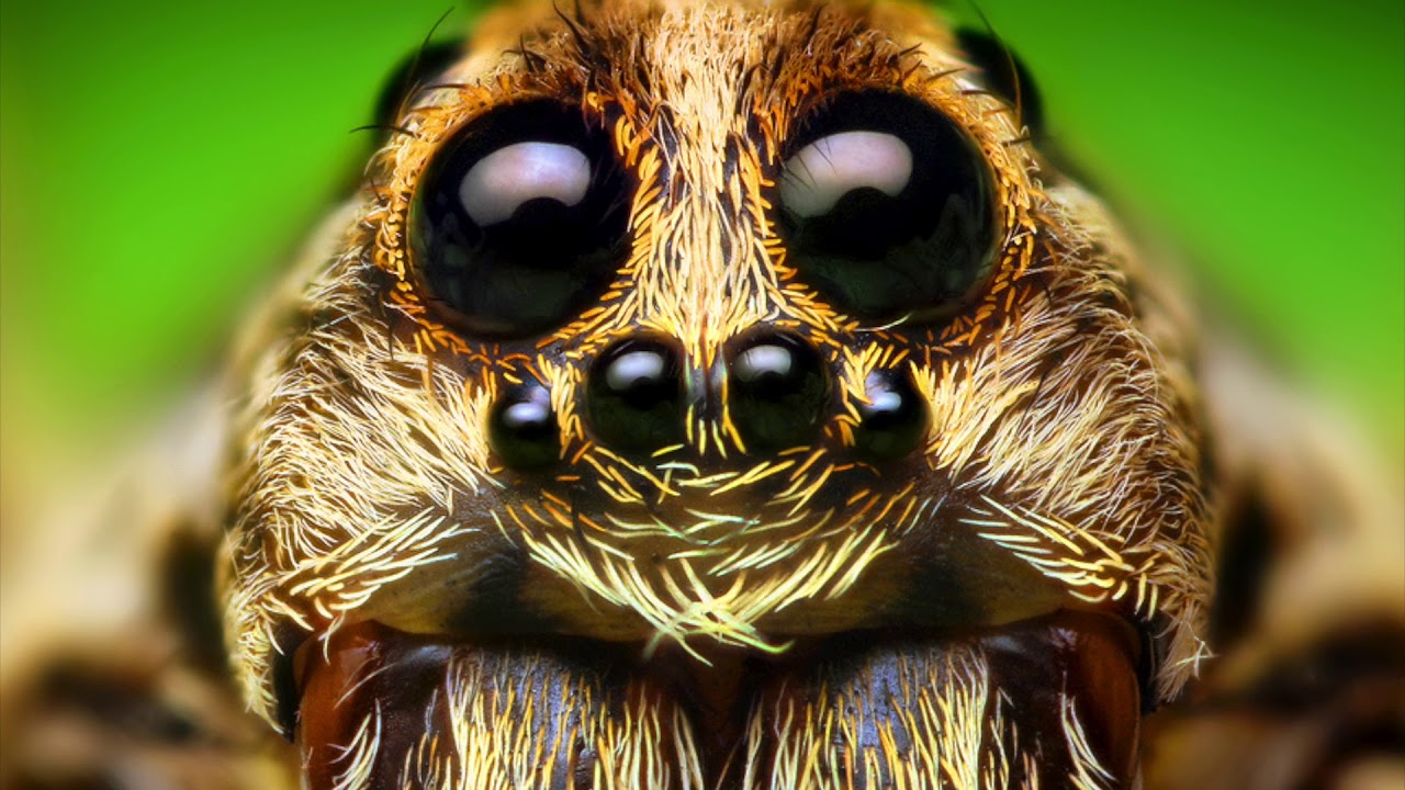 Wolf Spiders and Wolf Spider Bites - YouTube