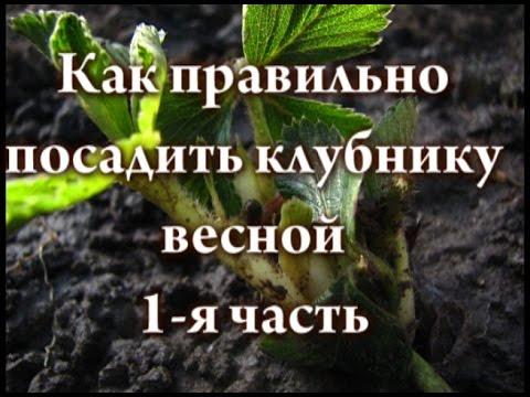 как посадить клубнику правильно фото