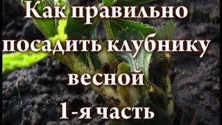 Как правильно посадить клубнику весной 1 я часть(В данном видео я рассказываю и показываю как правильно посадить саженцы клубники весной. Для примера,..., 2015-04-17T22:17:14.000Z)