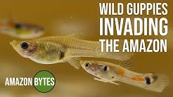 Sex in the Sewer - The Wild Guppies of Iquitos