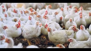 poultry farming business in pakistan part 2