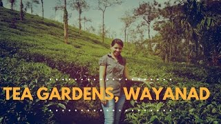 Tea Gardens of Wayanad, Kerala