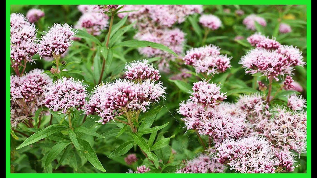 Valeriana Planta Medicinal Para que Sirve