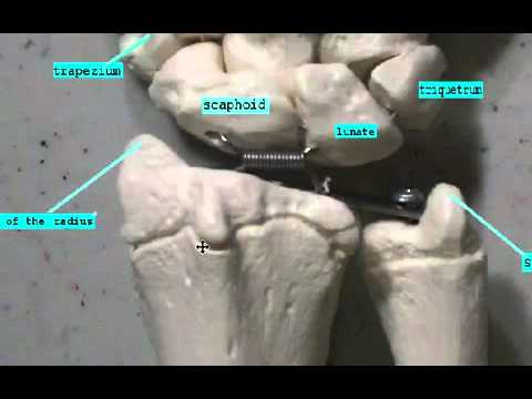 Carpal and Metacarpal bones