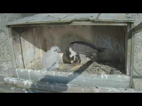 Great Spirit Bluff Falcon Cam ~ Morning Feeding By Michelle 5.27.17