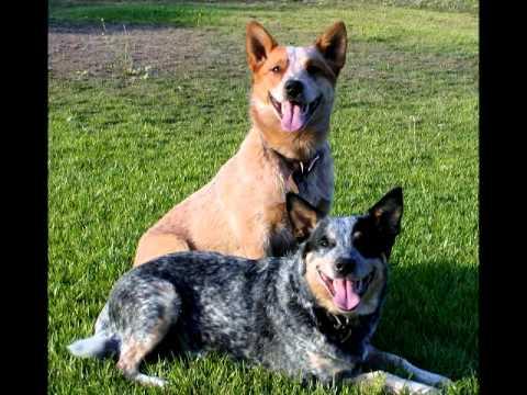 Порода собак Австралийская пастушья собака.
