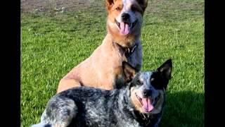 Порода собак  Австралийская пастушья собака