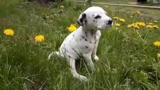 щенок далматина 5 недель