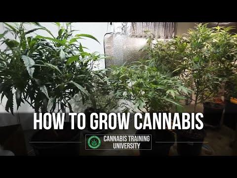 How to Grow Weed-Cannabis Grow-Best Marijuana Growing