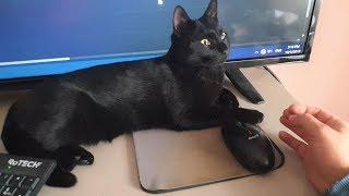 Cat Won't Let Owner Work