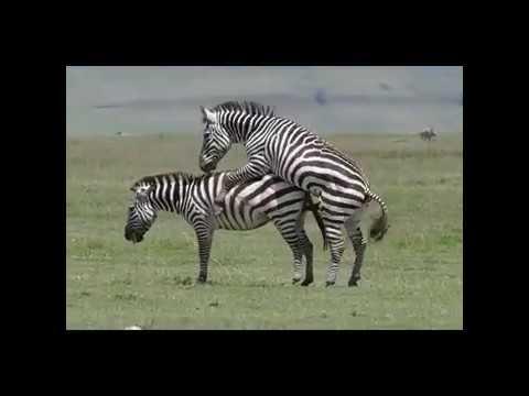 Download Zebra Mating compilation - Animal mating
